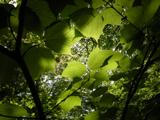 Kogashi120520_leaf